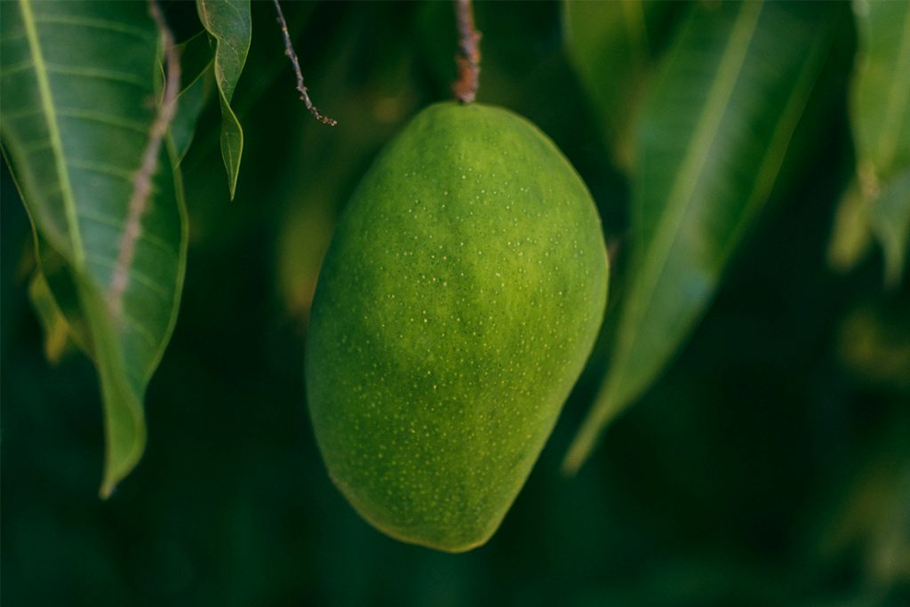raw mangoes - HealthNews24Seven
